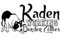 Kaden Working Border Collies